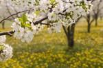 Spring_flower_t2519